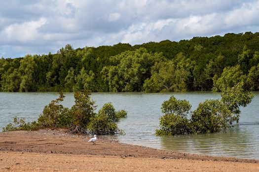 A seagull looking for food on the banks of a mangrove tidal creek
