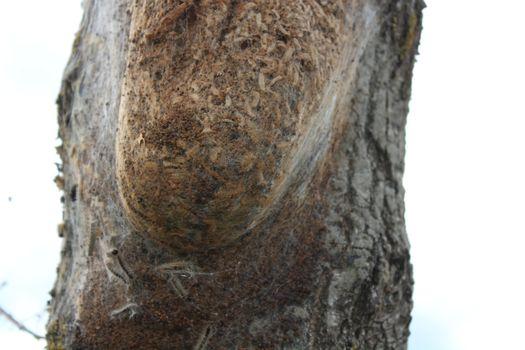 oak processionary moth on a tree