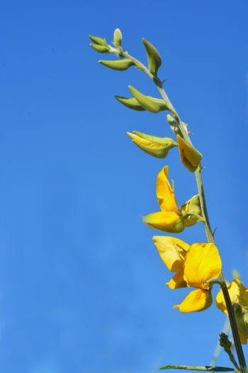Close up Blooming yellow Sunn hemp flowers or Crotalaria juncea is a tropical Asian plant used for green manure forage, organic soil building and cover crop applications
