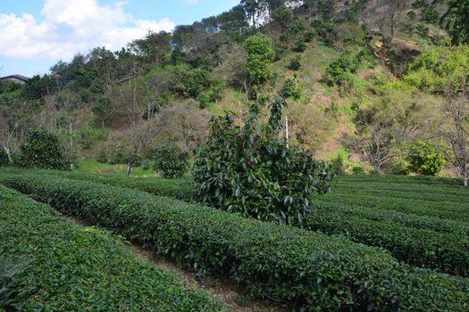 Tea plantation on hill