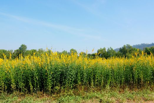 Farm Sunn Hemp flowers, Indian hemp flower field, Madras hemp or Crotalaria juncea is a tropical Asian plant used for green manure forage, organic soil building and cover crop applications
