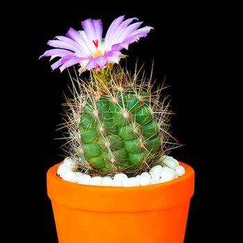 Beautiful Cactus in Flower Pot or cacti Flowers which are in their colorful Blooming on Black Background.
