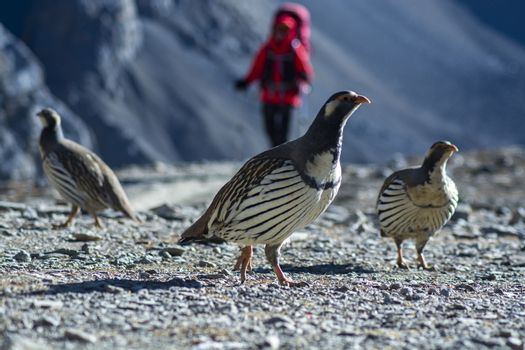 Snowcock birds on Himalaya Mountains with trekker at background