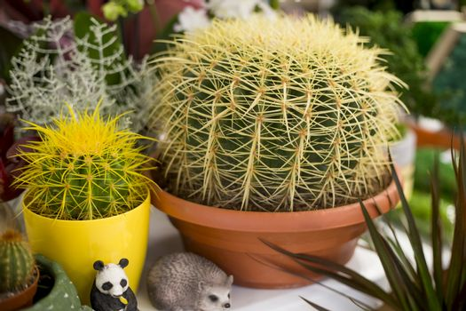 .Golden barrel cactus with long yellow thorns in a decorative pot for interior decoration