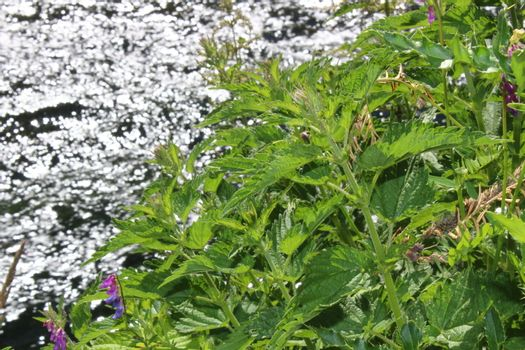 stinging nettles on a river