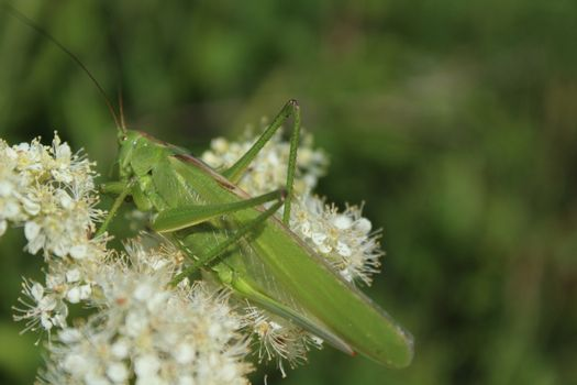 bush cricket on a blossoming meadow sweet