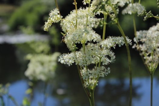 blossoming meadowsweet in the meadow