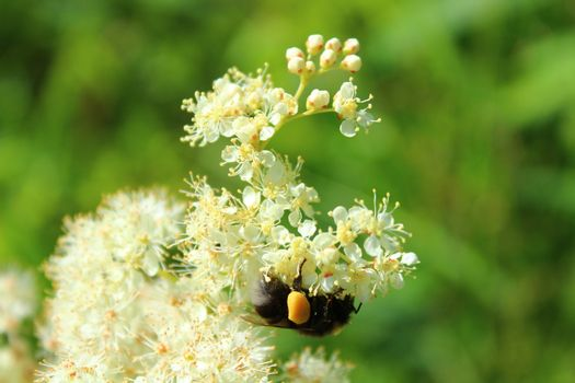 blossoming meadowsweet with a bumblebee in the meadow