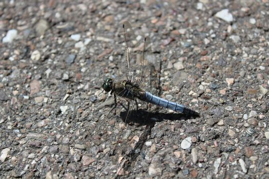 black-tailed skimmer on the street