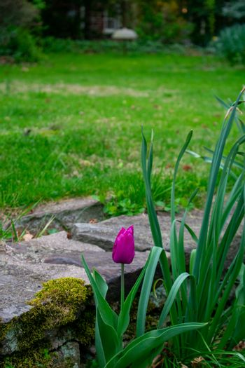 A Patch of Purple Tulips in Spring Next to a Small Cobblestone Wall