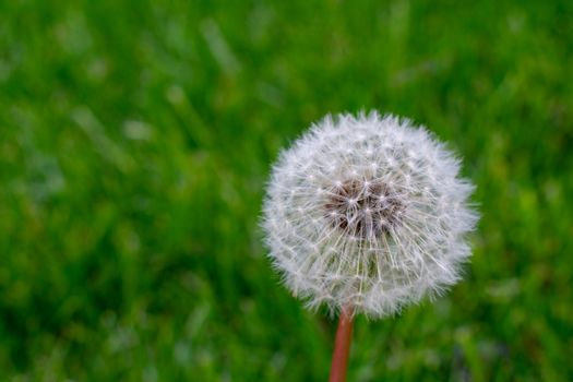 A Fresh White Dandelion on a Green Grass Background