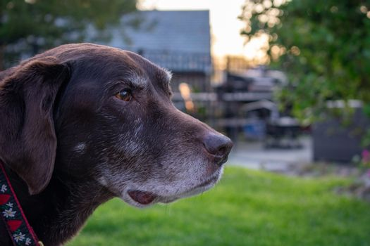 An Old Chocolate Lab Looking Off in the Distance in a Suburban Backyard