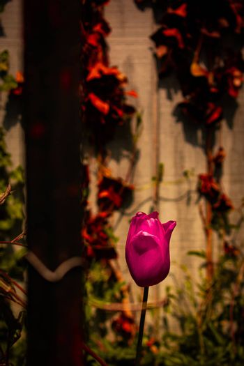 A Single Red Tulip Behind a Rusty Metal Fence With a Wall Covered in Dead Ivy Behind It
