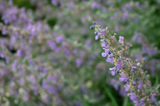 A Close Up Shot of Small Purple Flowers With More Flowers Behind Them