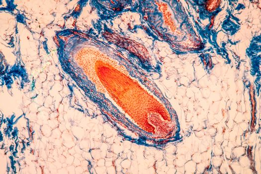 Scalp with hair roots tissue under the microscope 100x