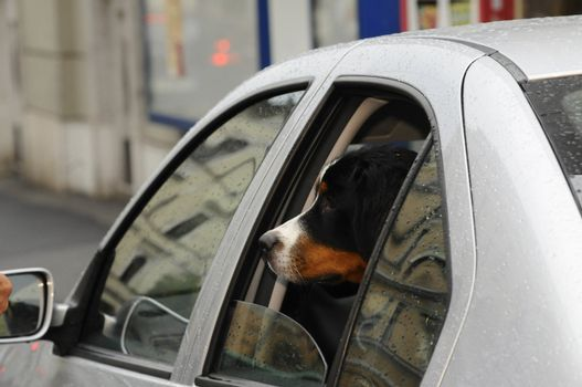 the mobility and transportation of a dog in a car