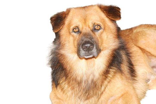 Brown shaggy dog looking at camera isolated white background