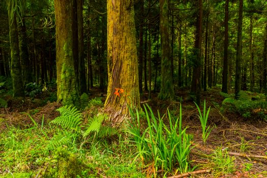 mystic green forest in Azores