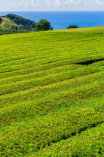 View on tea plantation rows in Gorreana. The oldest, and only, tea plantation in Europe, Sao Miguel island, Azores, Portugal