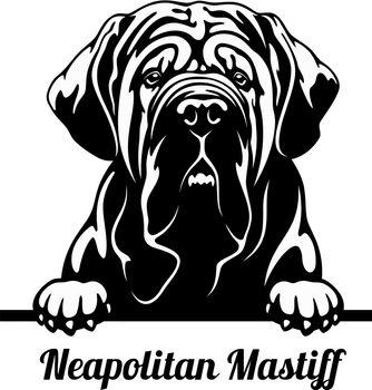 Peeking Dog - Neapolitan Mastiff breed - head isolated on white