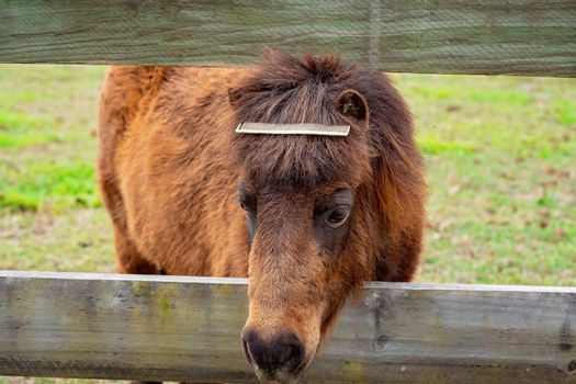 A Comb In The Mane Of A Miniature Pony