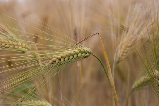 blades of riped wheat close up