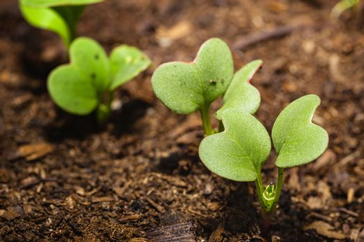 Radis sprout