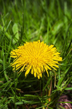 Small dandelion flower