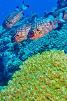 Bronze Soldierfish, Maldives