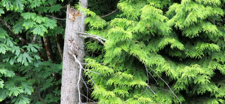 Mature owl poached on dead tree looking for prey