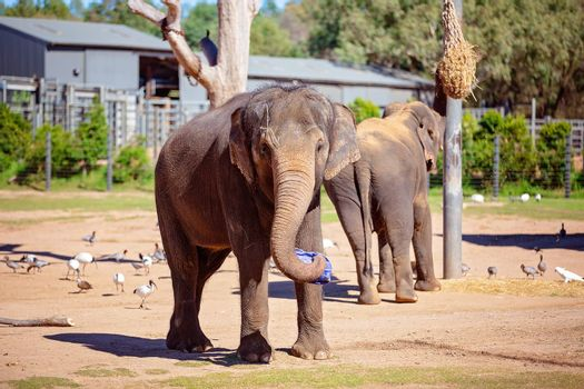 Two elephants in captivity, one playing with an object, the other looking at hay to eat