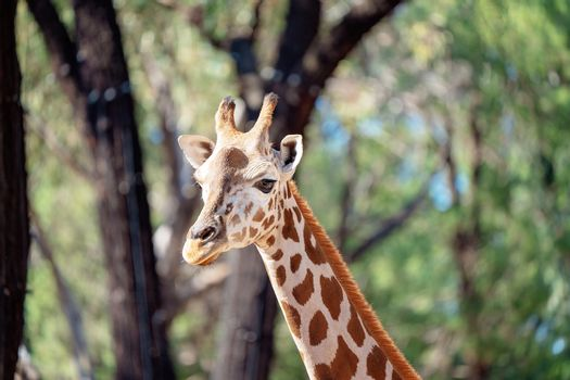 Long necked giraffe animal walking amongst the trees on a bright sunny day