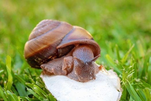 A Cooktown Bi-Colored Snail