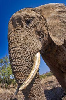 Elephant, South Africa, Africa