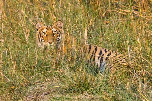Bengal Tiger, Royal Bardia National Park, Bardiya National Park, Nepal