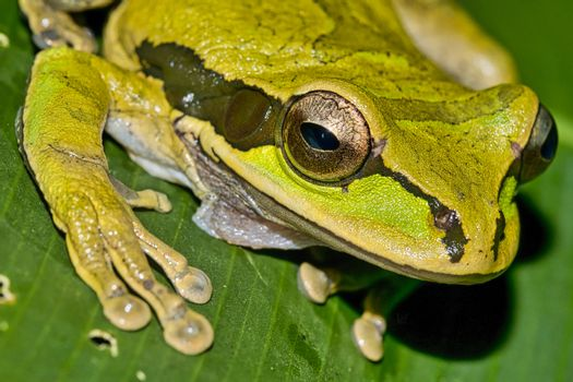 New Granada Cross-banded Tree Frog, Corcovado National Park, Osa Conservation Area, Costa Rica