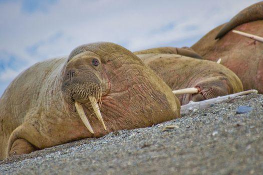 Resting Walrus, Odobenus rosmarus, Arctic