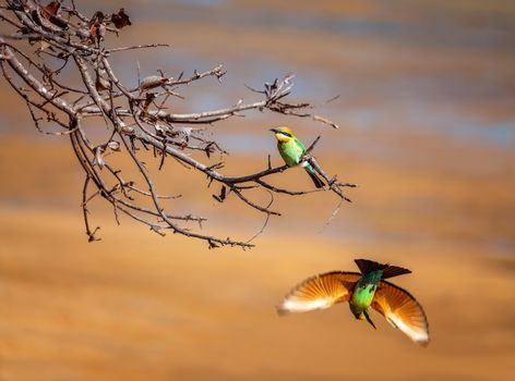 A Bee-Eater Perched On A Branch And One Flown Away