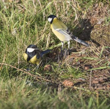 Close up two Great tit, Parus major birds on lush geen grass, selective focus, copy space