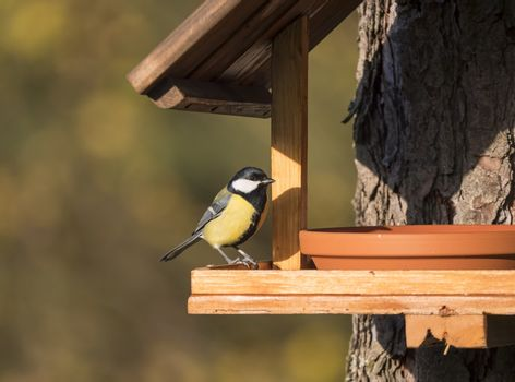 Close up Great tit, Parus major bird perched on feeder bird table, bokeh background, copy space. golden hour light.