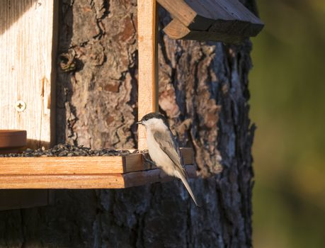 Close up marsh tit, Poecile palustris bird perched on feeder bird table on tree trunk, bokeh background, copy space. golden hour light.