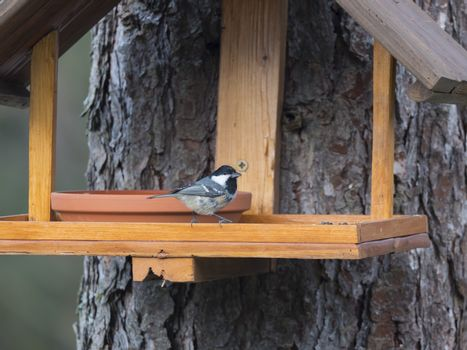 Close up coal tit or cole tit, Periparus ater bird perched on the bird feeder table with sunflower seed. Bird feeding concept. Selective focus