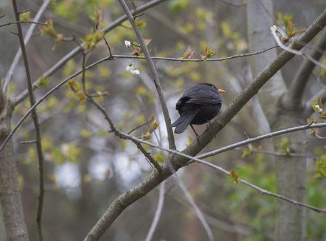 The common blackbird, Turdus merula also called Eurasian blackbird sitting on the tree branch, springtime.