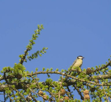 The great tit The great tit Parus major bird sitting on lush spring green larch tree branch, blue sky background, copy space