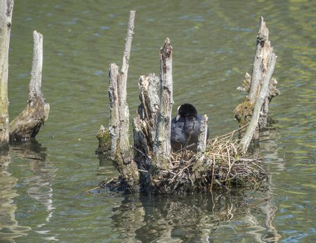Fulica atra Eurasian Coot common coot sitting on egg in a nest on lake