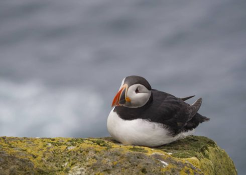 single close up Atlantic puffin (Fratercula arctica) sitting on rock of Latrabjarg bird cliffs, green grass and sea background, selective focus, copy space