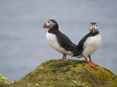 couple of close up Atlantic puffins (Fratercula arctica) standing on rock of Latrabjarg bird cliffs, white flowers, blue sea background, selective focus, copy space