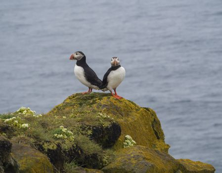 couple of close up Atlantic puffins Fratercula arctica standing on rock of Latrabjarg bird cliffs, white flowers, blue sea background, selective focus copy space