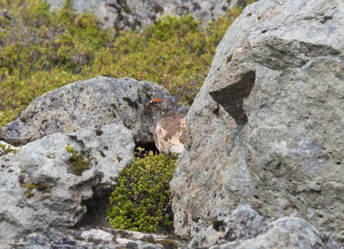 male rock ptarmigan (Lagopus muta) hiding between stones and bush in iceland nature reserve Hornstrandir in summer day