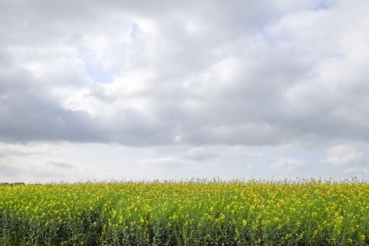 The rapeseed field and the sky above it. Spring in the field